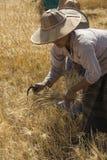 Harvesting - Myanmar (Burma) Stock Photography