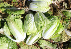 Harvesting napa cabbage Stock Images