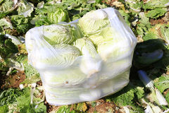 Harvesting napa cabbage Royalty Free Stock Image