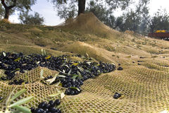 Harvesting olive. Nets out under the olive trees to collect Royalty Free Stock Photos