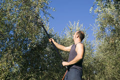 Harvesting olives Stock Photography