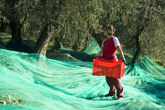 Harvesting olives Stock Image