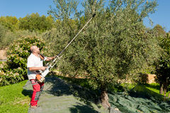 Harvesting olives Royalty Free Stock Image