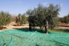 Harvesting olives. In Catalonia, Spain Royalty Free Stock Photos