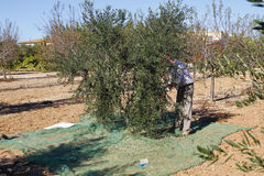 Harvesting olives Stock Photos