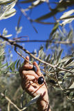 Harvesting olives by hand Royalty Free Stock Image
