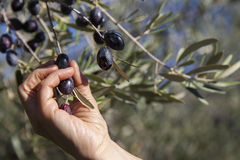 Harvesting olives by hand Stock Images