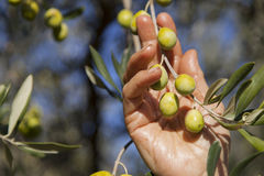Harvesting olives by hand Royalty Free Stock Photography