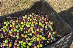Harvesting olives Royalty Free Stock Photo
