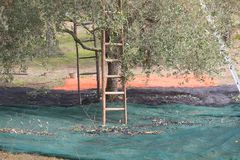 Harvesting of olives with ladders. Near the tree Royalty Free Stock Photo