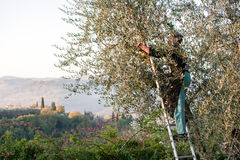 Olive Picker Stock Photography