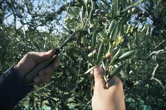 Harvesting olives in Spain. Closeup of a young caucasian man harvesting arbequina olives in an olive grove in Catalonia, Spain, with a comb-like tool Stock Photos