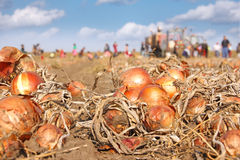 Harvesting onion on field Royalty Free Stock Photos