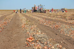 Harvesting onion on field. Workers picking and transporting to the warehouses Royalty Free Stock Photo