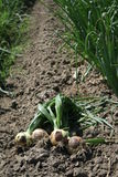 Harvesting onions. Stock Photography