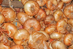 Harvesting onions. Stock Photography