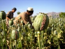 Harvesting Opium, East Afghanistan. Farmers scraping poppy heads to produce raw opium gum. They later scoop up the gum into buns the size of a fist and let them