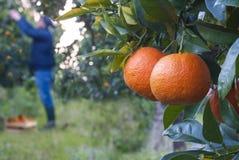Harvesting oranges. Field of oranges Royalty Free Stock Photos