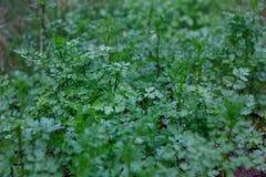 Harvesting organic, non toxic,coriander. Harvesting organic, non toxic,coriander Royalty Free Stock Photos