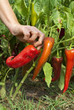 Harvesting organic, non toxic, peppers. Harvesting organic, non toxic, fresh red peppers Royalty Free Stock Photography