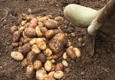 Harvesting organic potatoes. Close up of the harvesting of organic potatoes Stock Photography