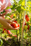 Harvesting organic Tomatoes in the garden Royalty Free Stock Photos