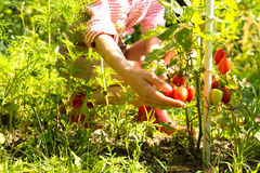 Harvesting organic Tomatoes in the garden Stock Photos