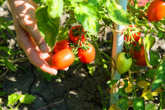 Harvesting organic Tomatoes in the garden Stock Image