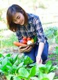 Harvesting organic vegetables Royalty Free Stock Photography
