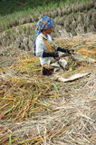 Harvesting paddies Stock Photography