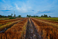 After harvesting a paddy. A paddy field after harverst Stock Photography