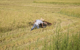 Harvesting paddy rice Royalty Free Stock Images