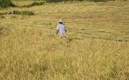 Harvesting paddy rice Stock Photo
