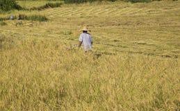 Harvesting paddy rice Stock Photo