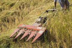 Harvesting paddy rice Stock Images