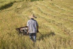 Harvesting paddy rice Royalty Free Stock Image