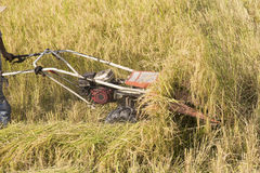 Harvesting paddy rice Royalty Free Stock Photography