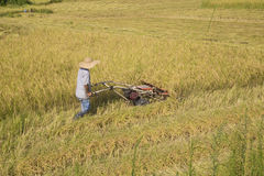 Harvesting paddy rice Royalty Free Stock Image