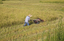 Harvesting paddy rice. Farmer man working  machine and harvesting rice in the paddy field Royalty Free Stock Photos