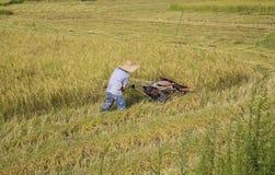 Harvesting paddy rice Royalty Free Stock Photos