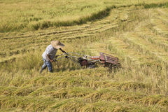 Harvesting paddy rice Stock Photography