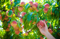 Harvesting peaches in the garden Royalty Free Stock Image