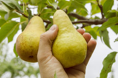 Harvesting pear in hand Stock Photography