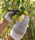 Harvesting of pears Stock Photography