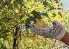 Harvesting pears Stock Image