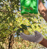 Harvesting pears Stock Photography