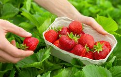 Harvesting perfect strawberries Royalty Free Stock Image
