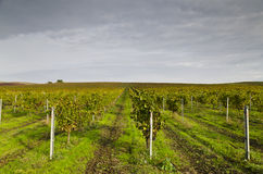 Harvesting period in the vineyard. Karnobat, Bulgaria Royalty Free Stock Photo