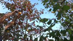 Persimmon fruit harvest