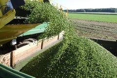 Harvesting pies Stock Photo